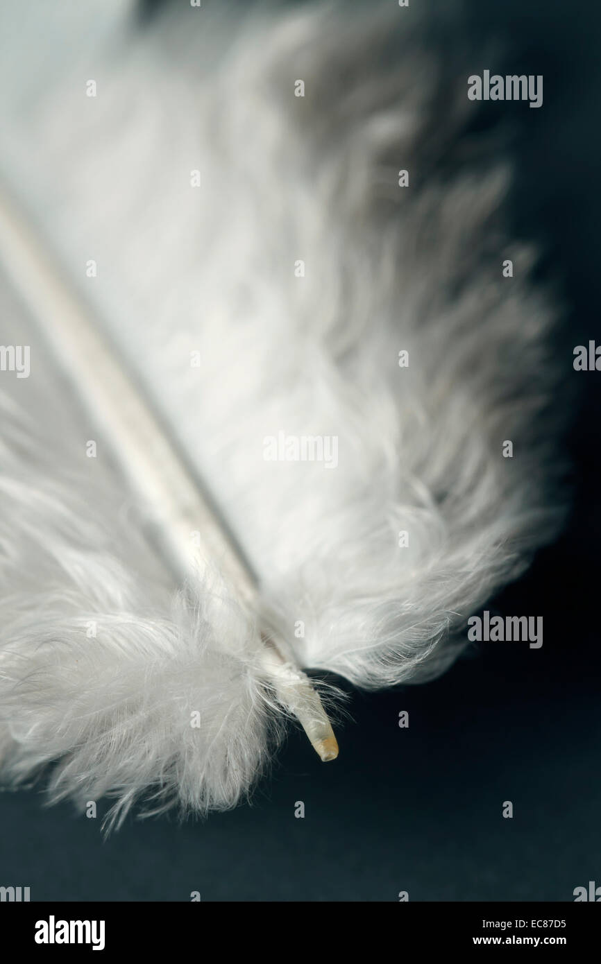 feather close-up - Stock Image