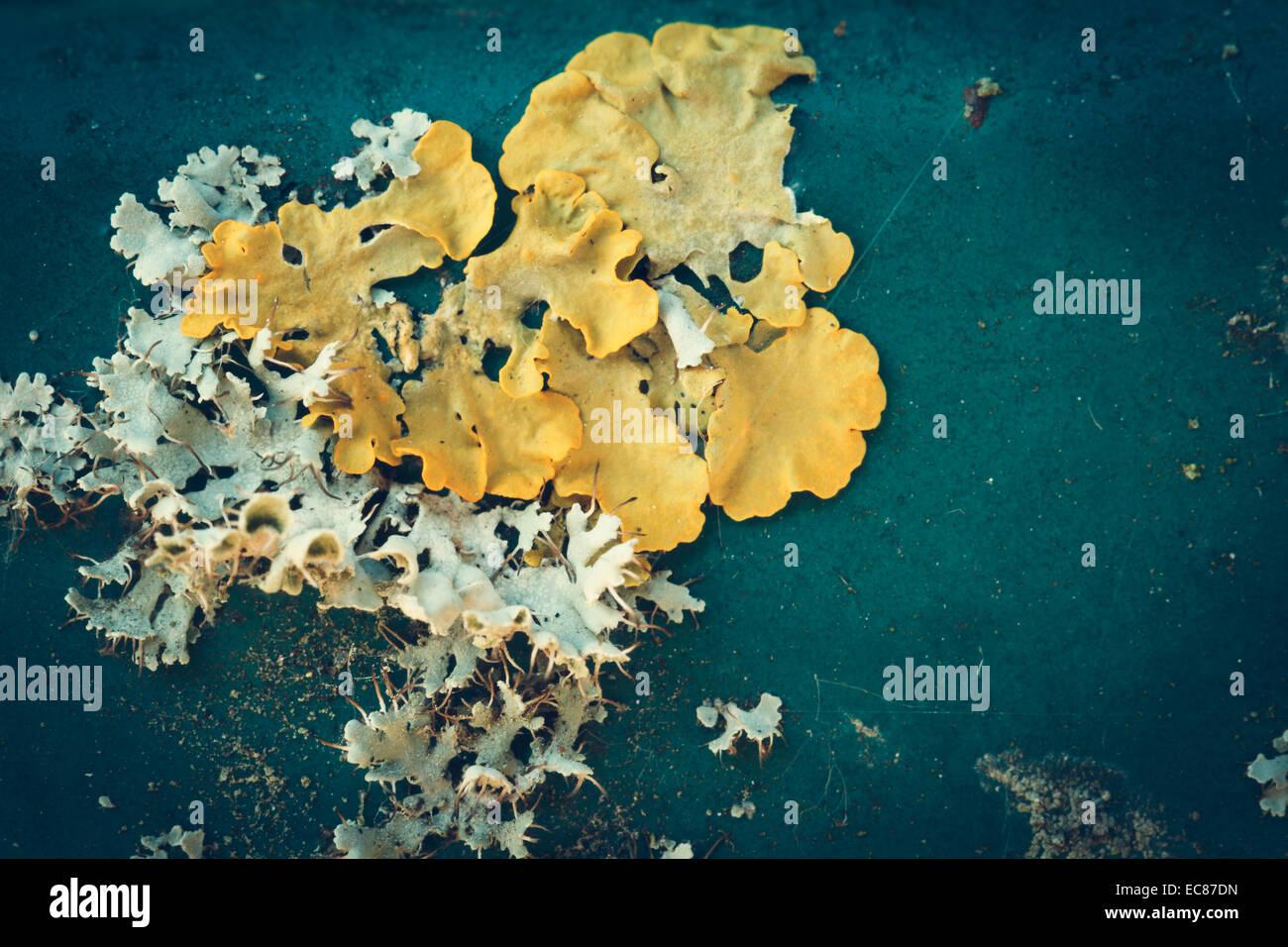 lichen on metal texture, close-up macro shot - Stock Image