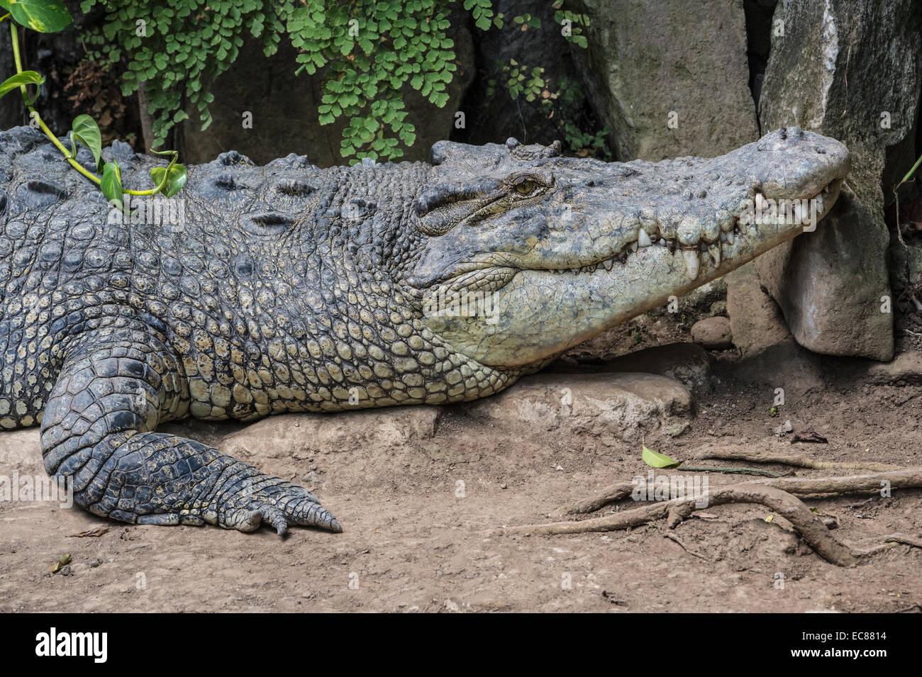 Saltwater Crocodile (Crocodylus porosus), Bali Reptile Park, Indonesia - Stock Image
