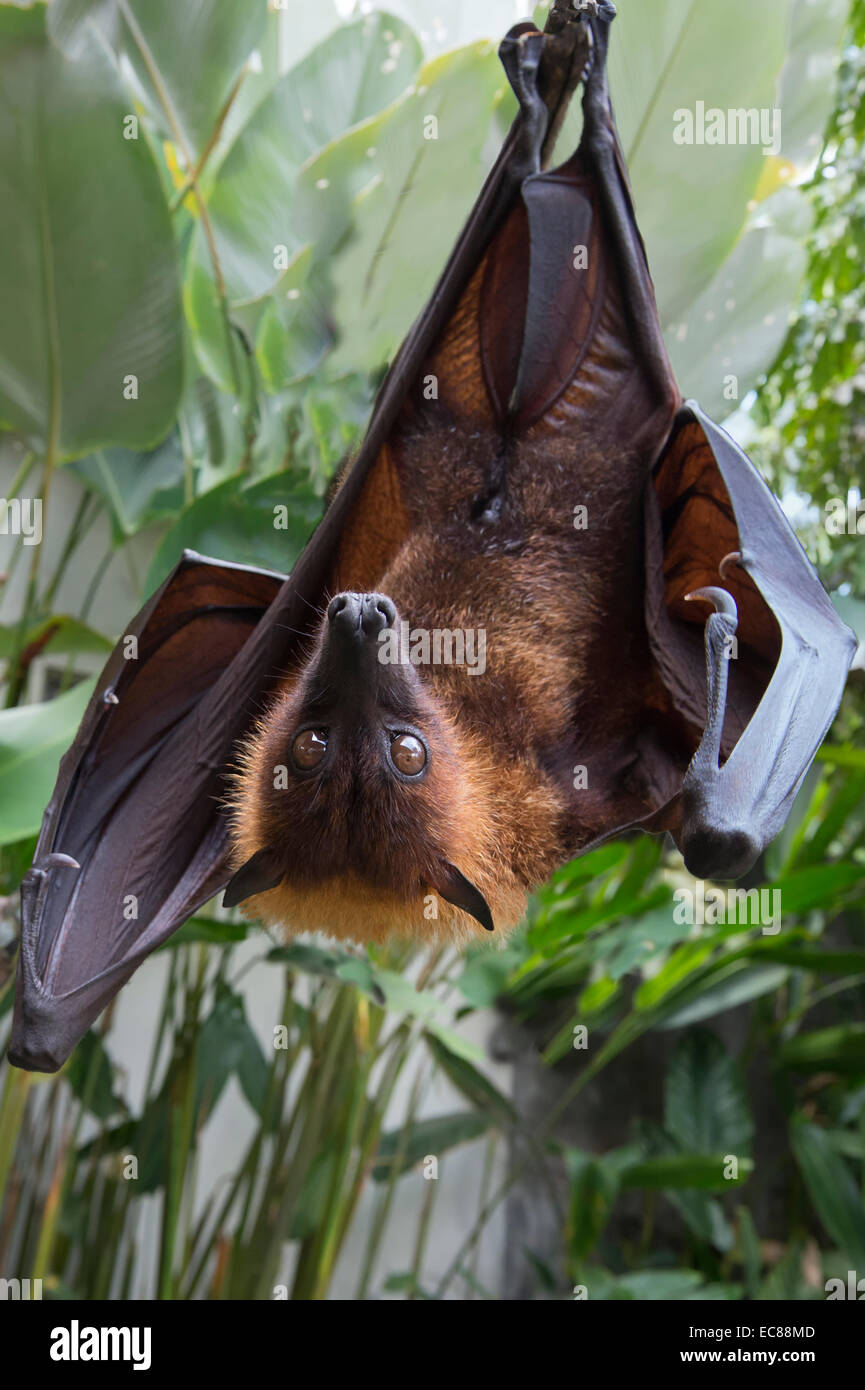 Large Flying Fox (Pteropus vampyrus) hanging in a tree, Bali Indonesia - Stock Image