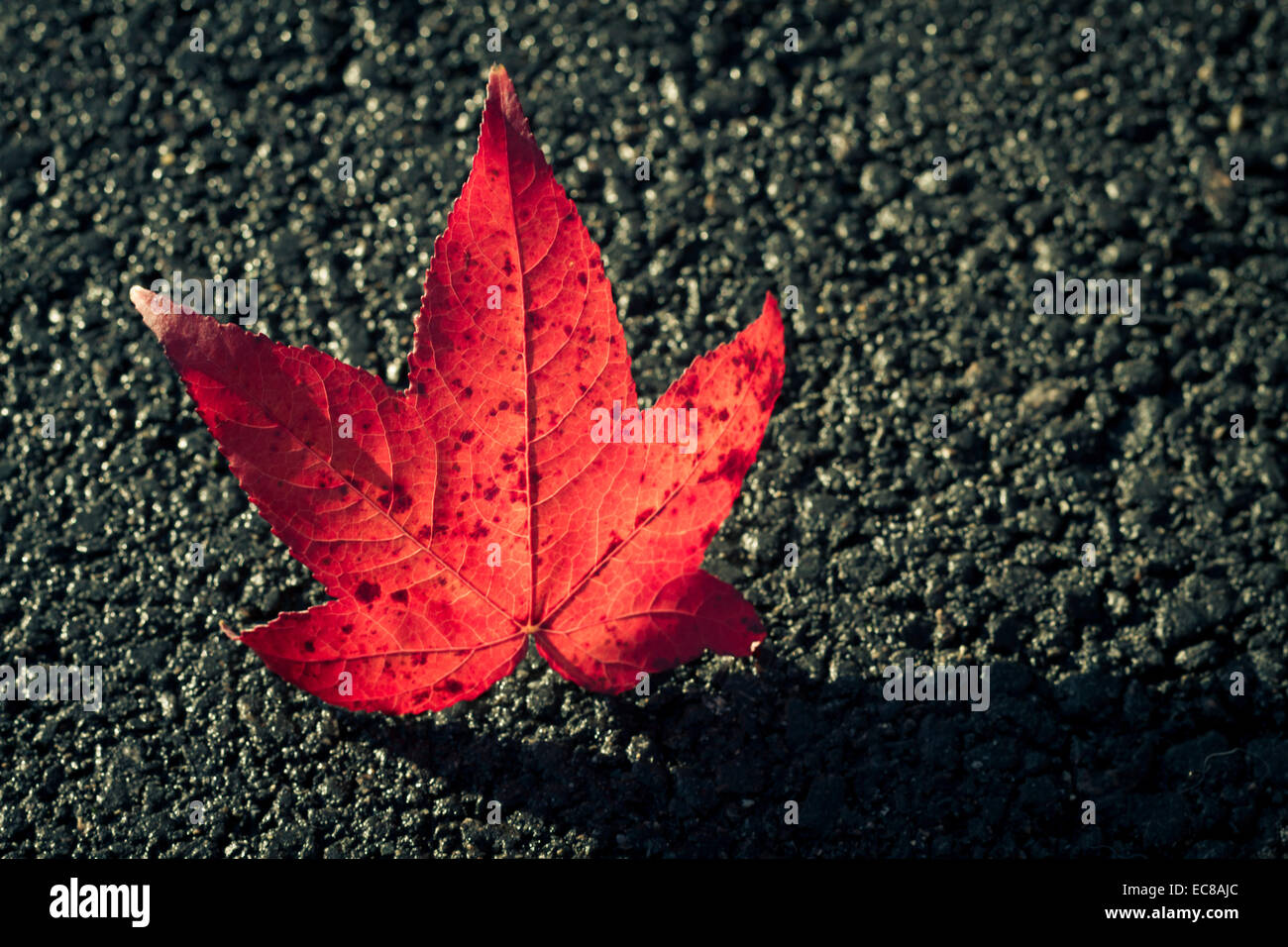 red leave on road - Stock Image