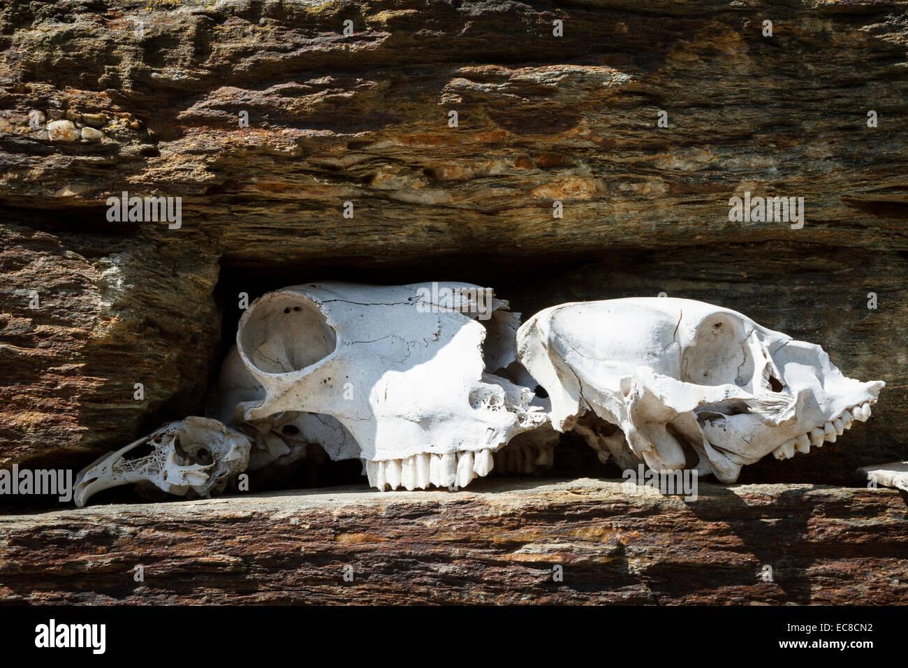 animals skull bones on schist wall - Stock Image