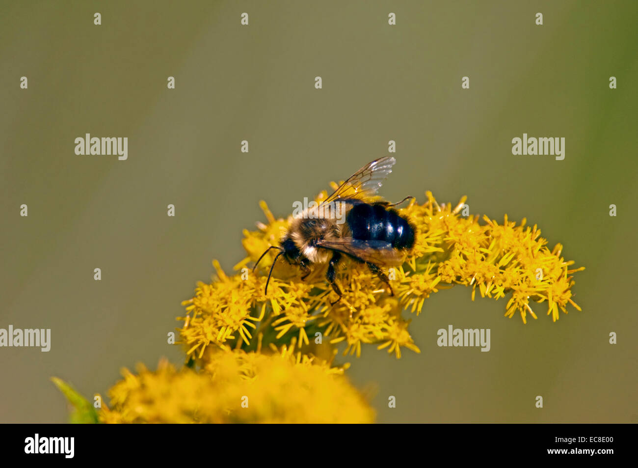 Bee gathering nectar on a Solidago, goldenrod blossom. - Stock Image