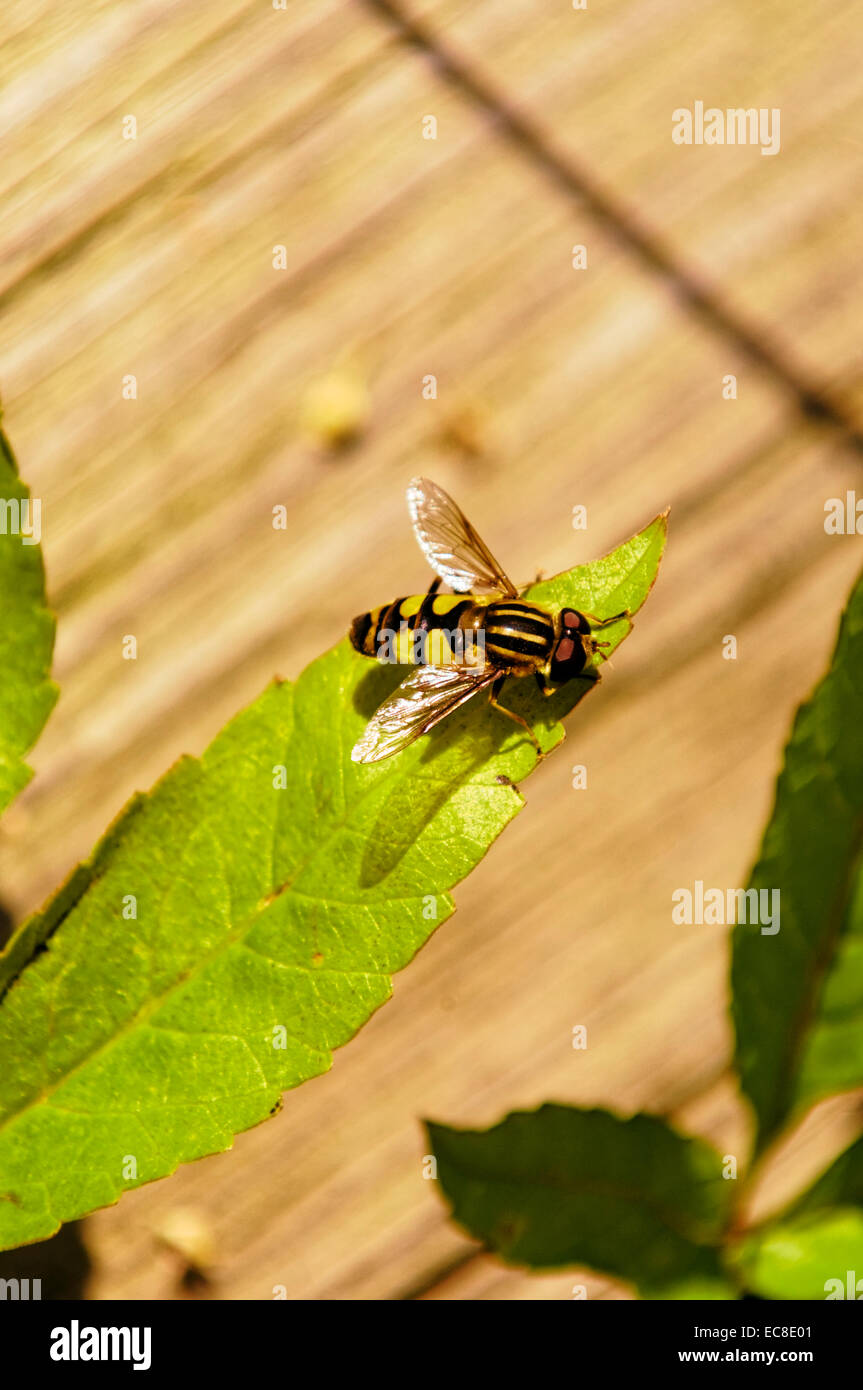 A bee overhangs a wooden deck, resting on a green leaf. - Stock Image