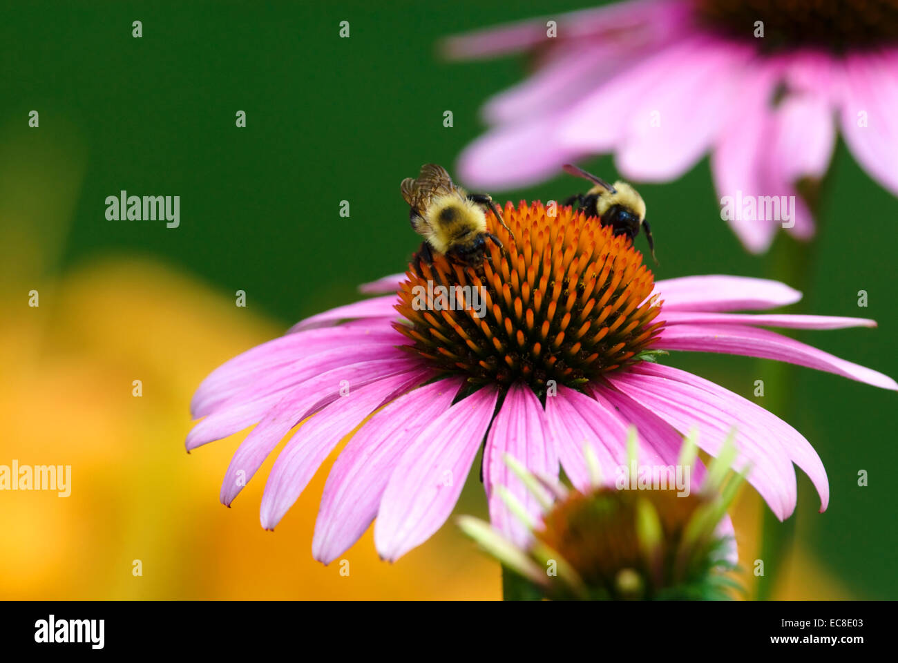 A pink Echinacea, commonly known as a coneflower with bees feeding on nectar, close-up. - Stock Image