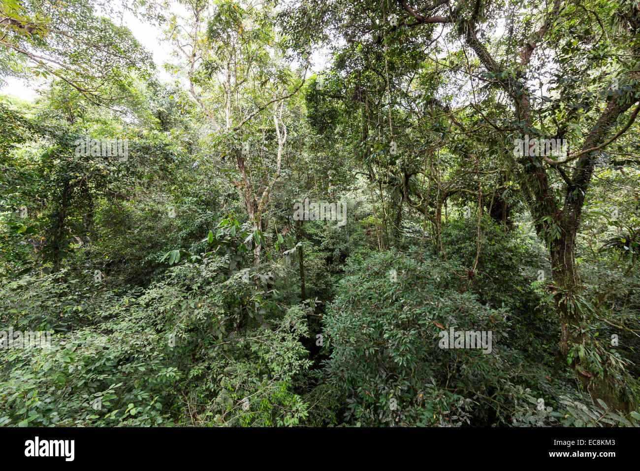 Upper part of rainforest canopy with epiphytes Gunung Mulu National Park Malaysia & Upper part of rainforest canopy with epiphytes Gunung Mulu National ...