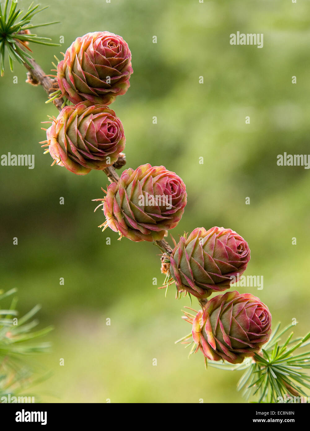 Pink flushed spruce cones in early summer UK - Stock Image