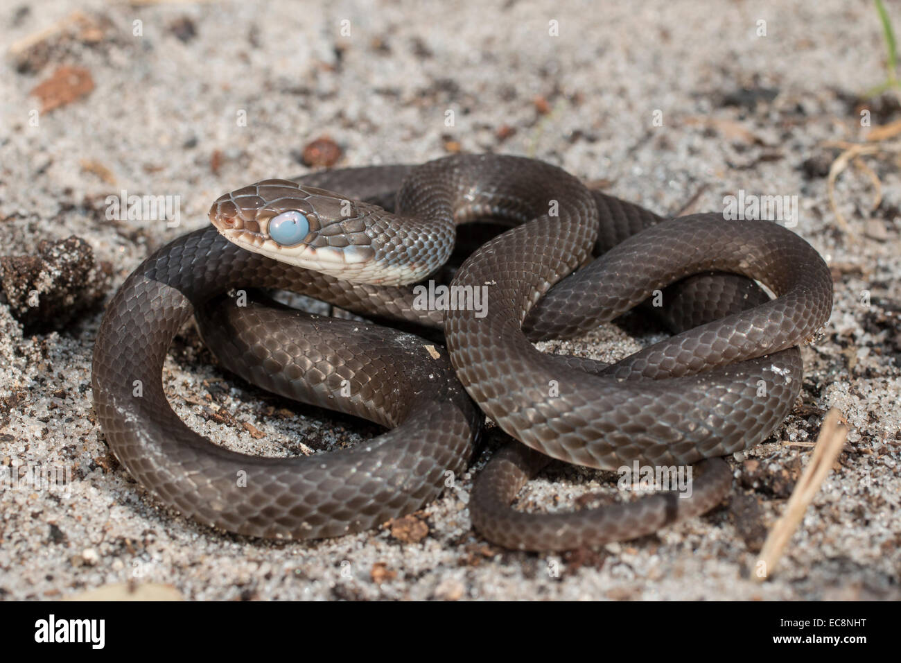 Southern black racer near shedding - Coluber constrictor priapus - Stock Image