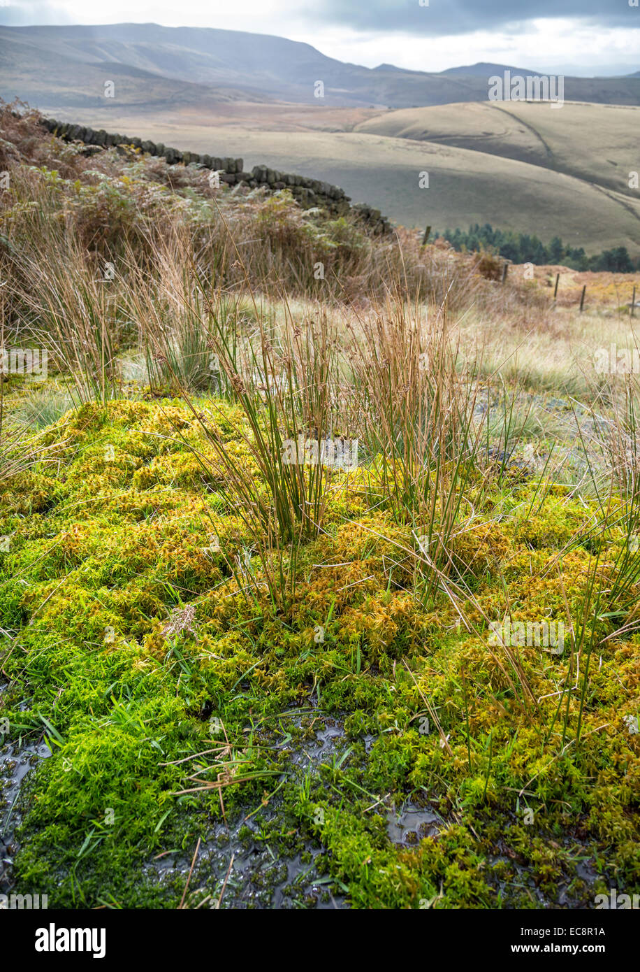 Sphagnum moss growing in a moorland flush in the Kinder valley near Hayfield - Stock Image