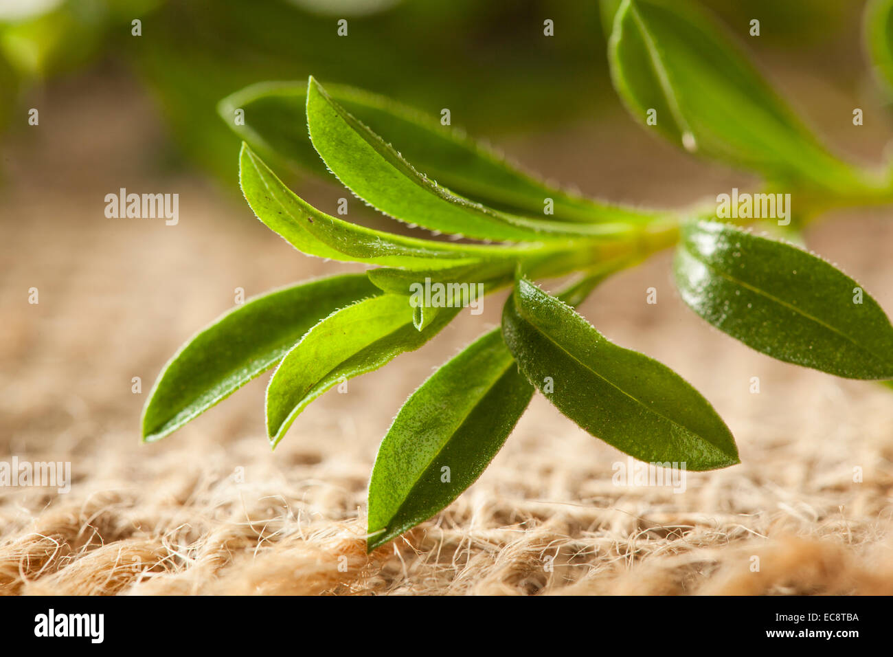 Raw Organic Green Savory Herb in a Bunch - Stock Image