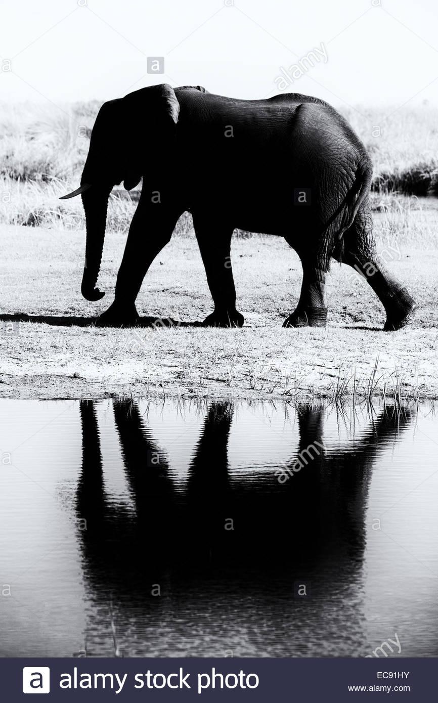 African Elephant, Okavango Delta, Botswana - Stock Image