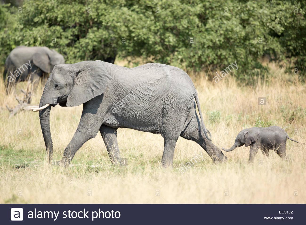 African Elephant, Vumbura Plains, Okavango Delta, Botswana - Stock Image