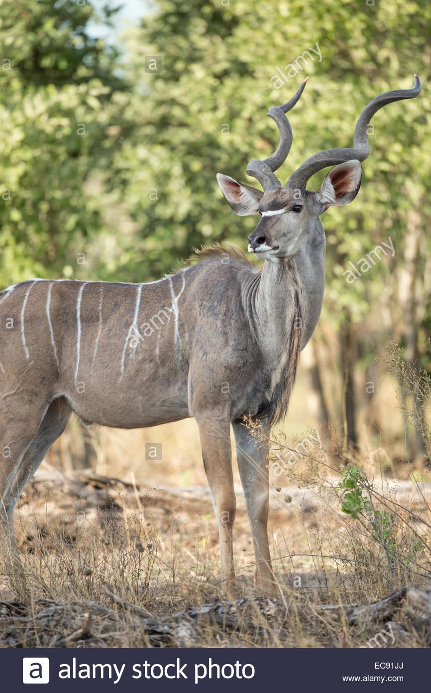Greater Kudu, Okavango Delta, Botswana - Stock Image