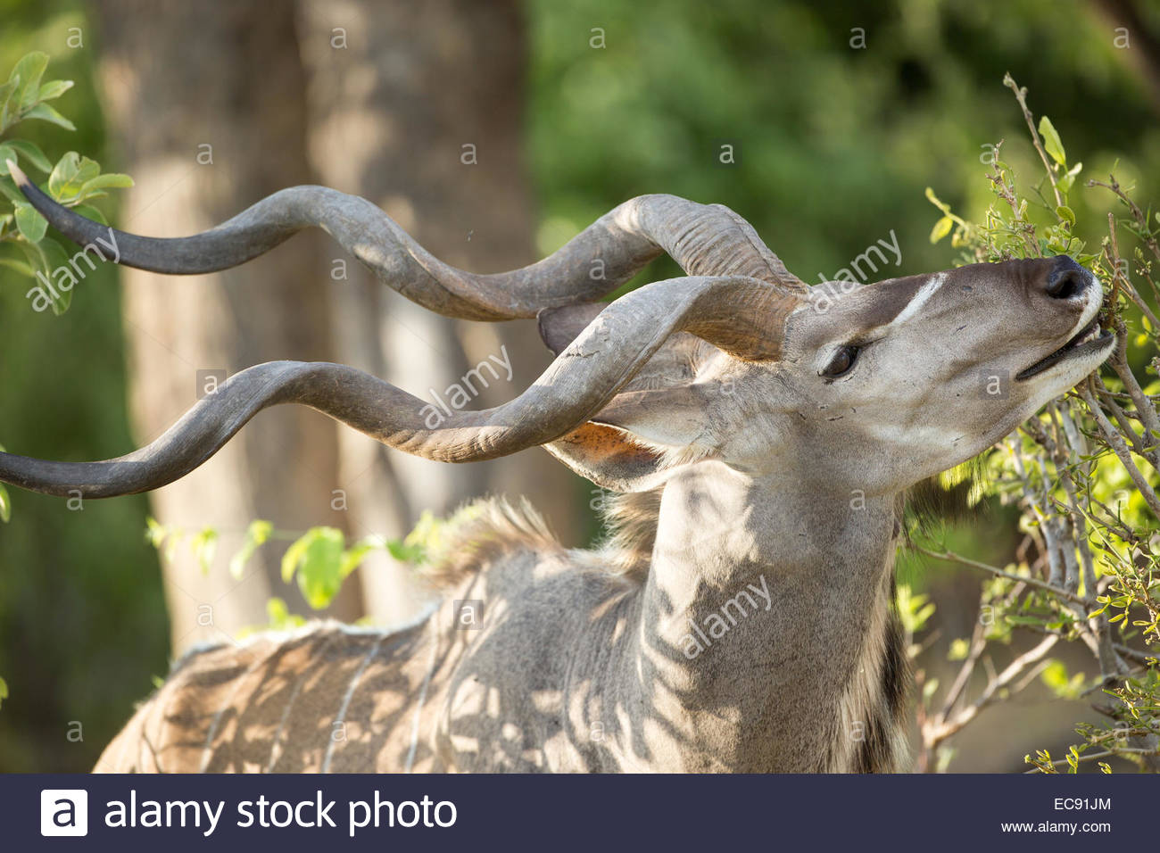 Greater Kudu, Okavango Delta, Botswana Stock Photo