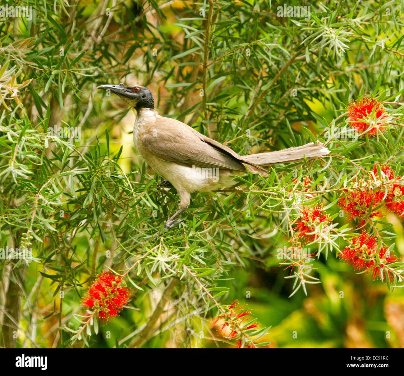 Noisy friar bird, Philemon corniculatus, Australian honeyeater feeding on red flowers of native bottlebrush / Callistemon - Stock Image
