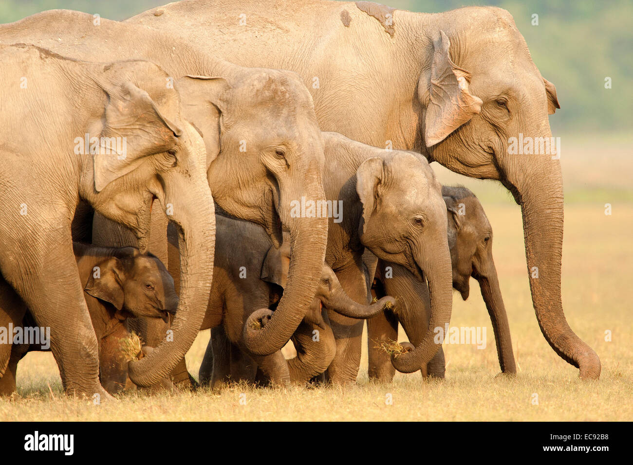 Wildlife,Indian Elephant,Pachyderm,Corbett Park,UP,Corbett Tiger Reserve,India,Endangered Species,Elephas maximus,herd,family - Stock Image