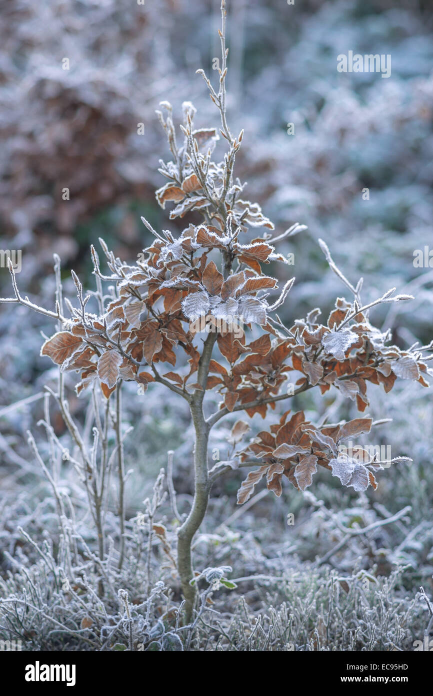 Frost covered little beech tree Fagus sylvatica Stock Photo