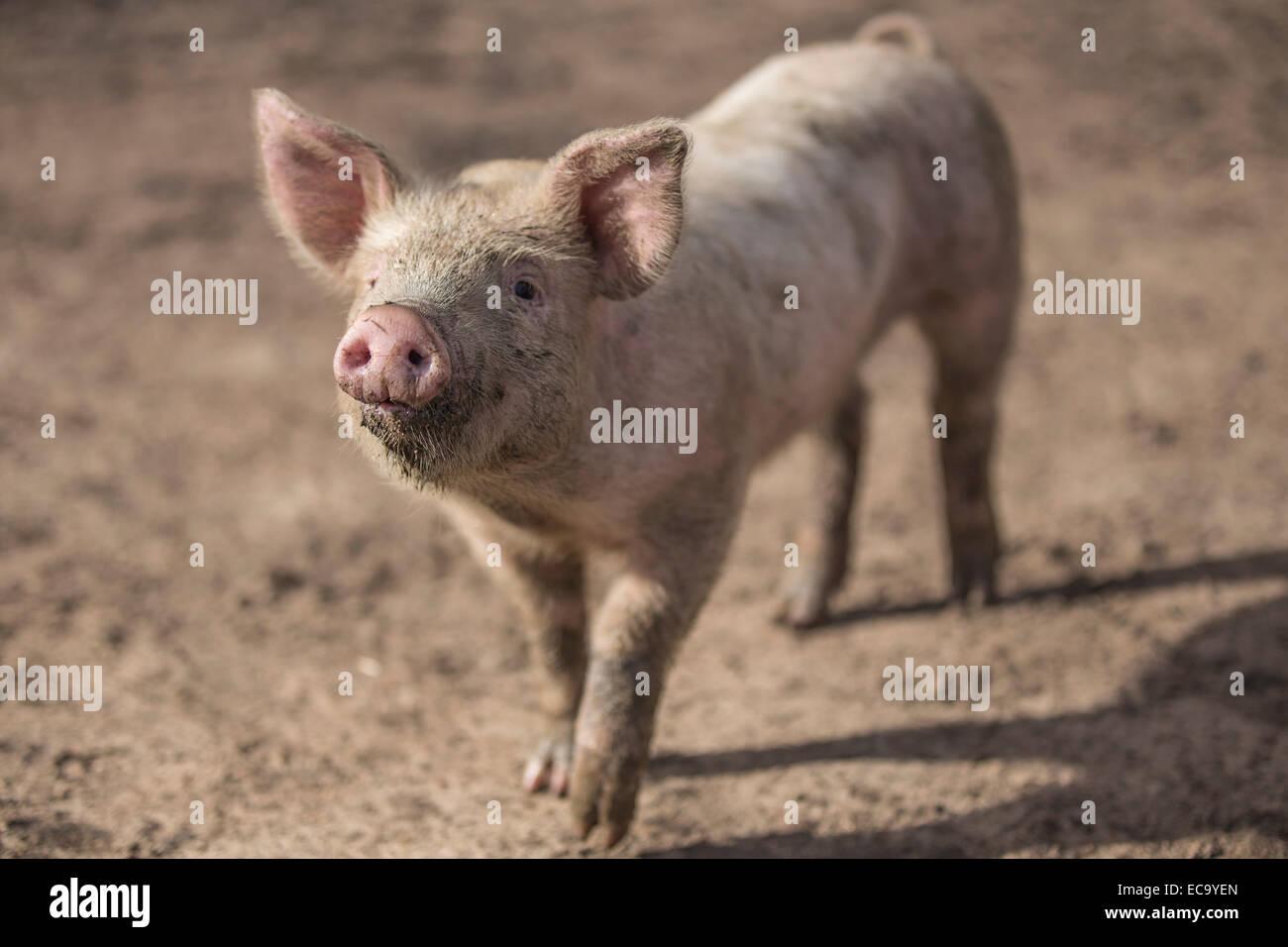 Muddy piglet Stock Photo