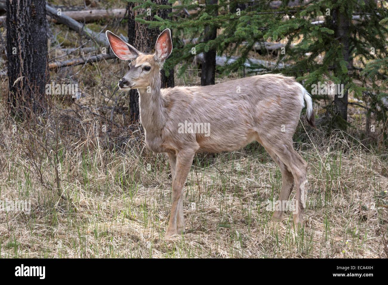 Mule Deer in spring moult - Stock Image
