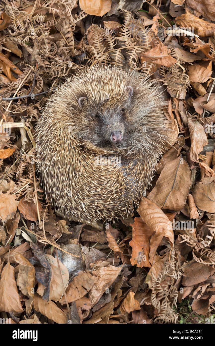 Hedgehog (Erinaceus europaeus)  in autumn leaves, captive, UK - Stock Image