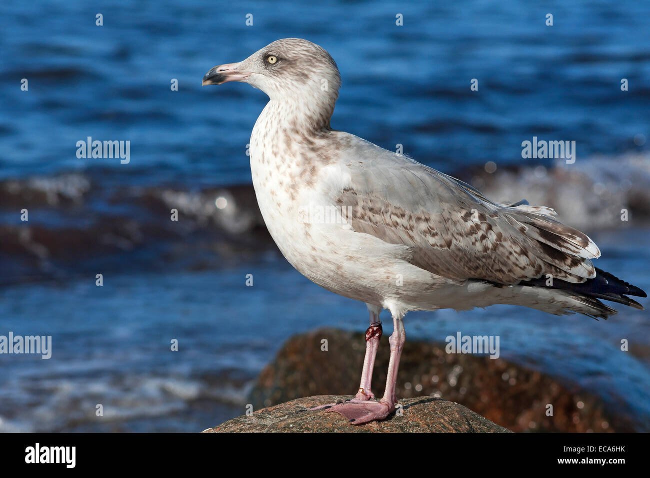 Young Yellow-legged Gull (Larus michahellis) perched on a rock, Baltic Sea, Mecklenburg-Western Pomerania, Germany Stock Photo