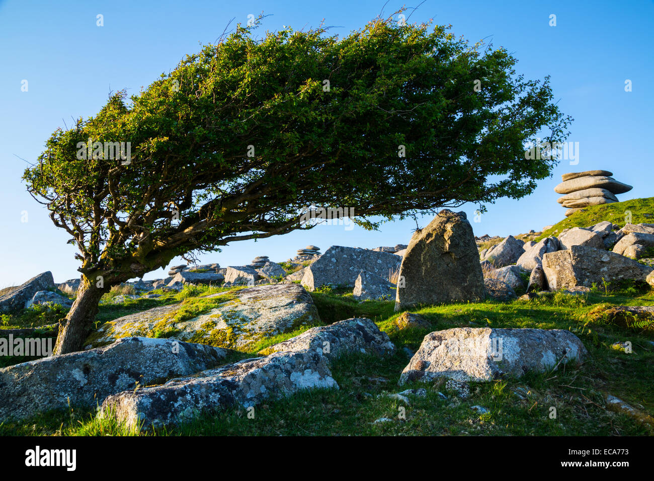 Lone Tree on Stowes Hill - Stock Image
