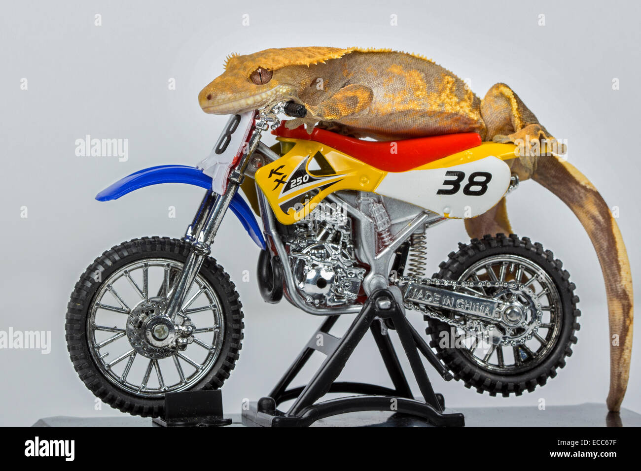 Crested Gecko on a motorbike - Stock Image