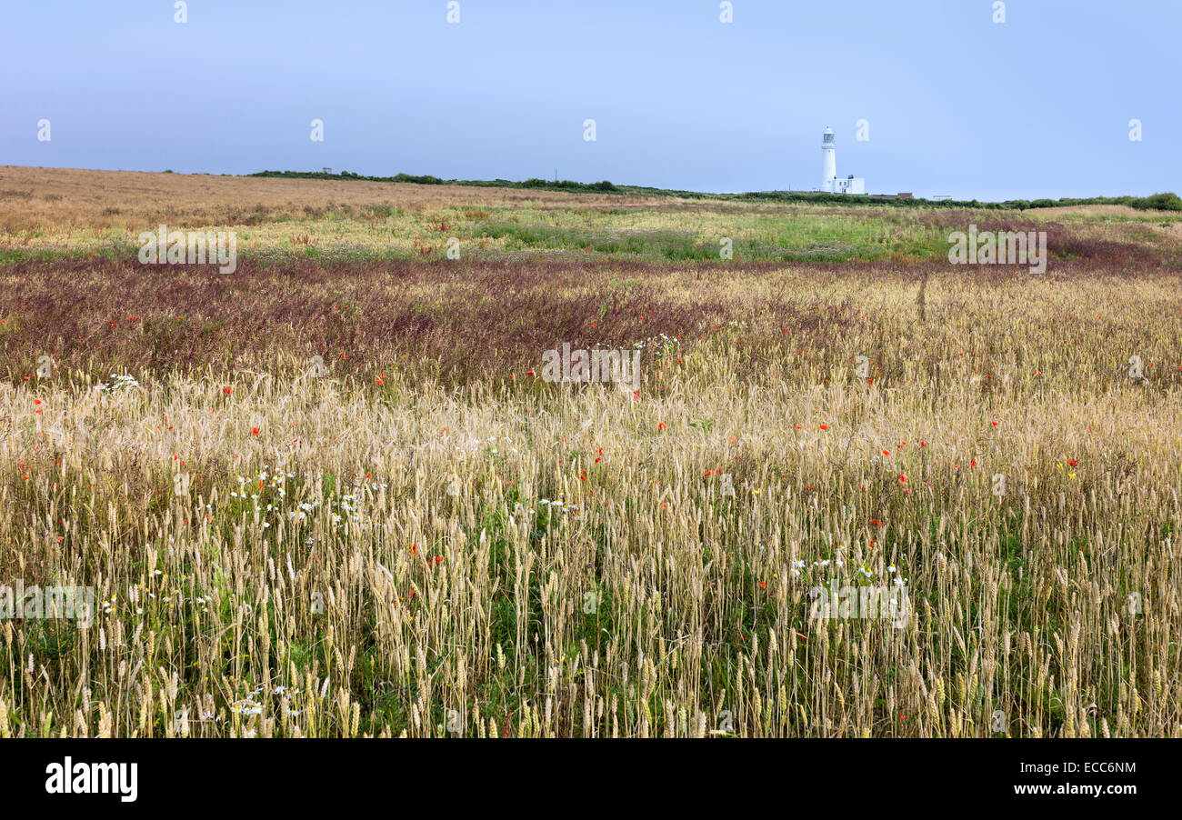 The lighthouse surrounded by a field of wheat and wild flowers in summer at Flamborough Head, East Riding of Yorkshire, Stock Photo