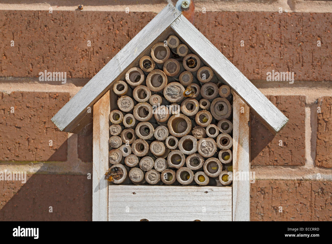 Insect nest box installed on house wall occupied by Red Mason Bees (Osmia bicornis) showing all holes sealed with - Stock Image