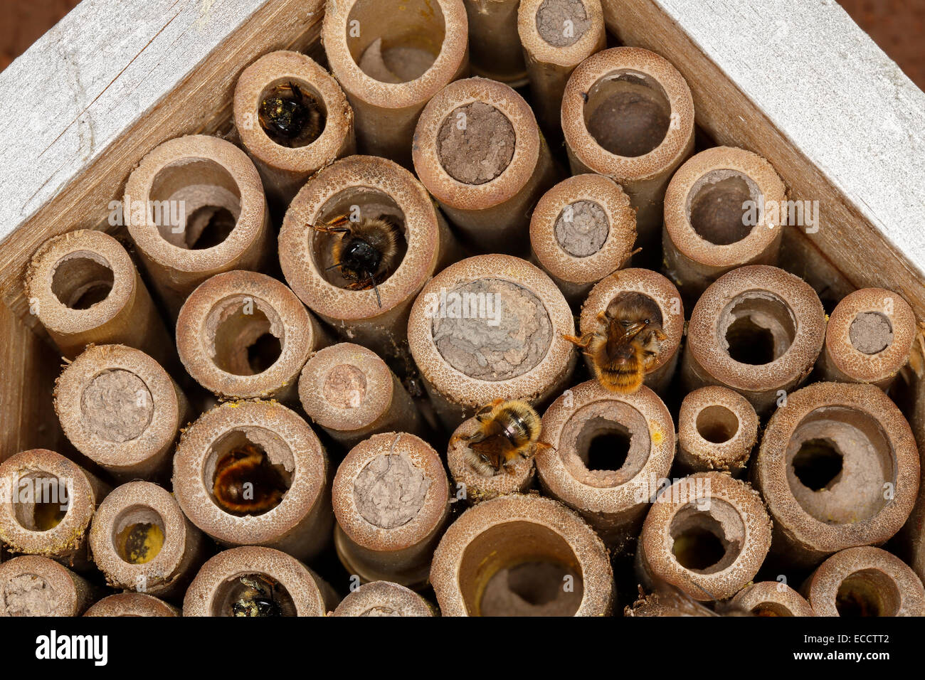 Close-up of insect nest box on house wall occupied by Red Mason Bees (Osmia bicornis) showing the bees at work May - Stock Image