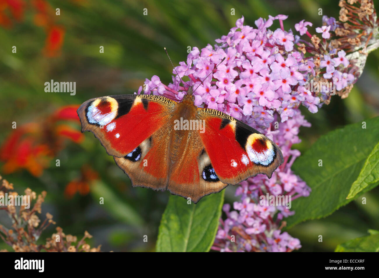 Peacock Butterfly (Inachia io) feeding on Buddleja flowers in garden Cheshire UK August 2473 - Stock Image