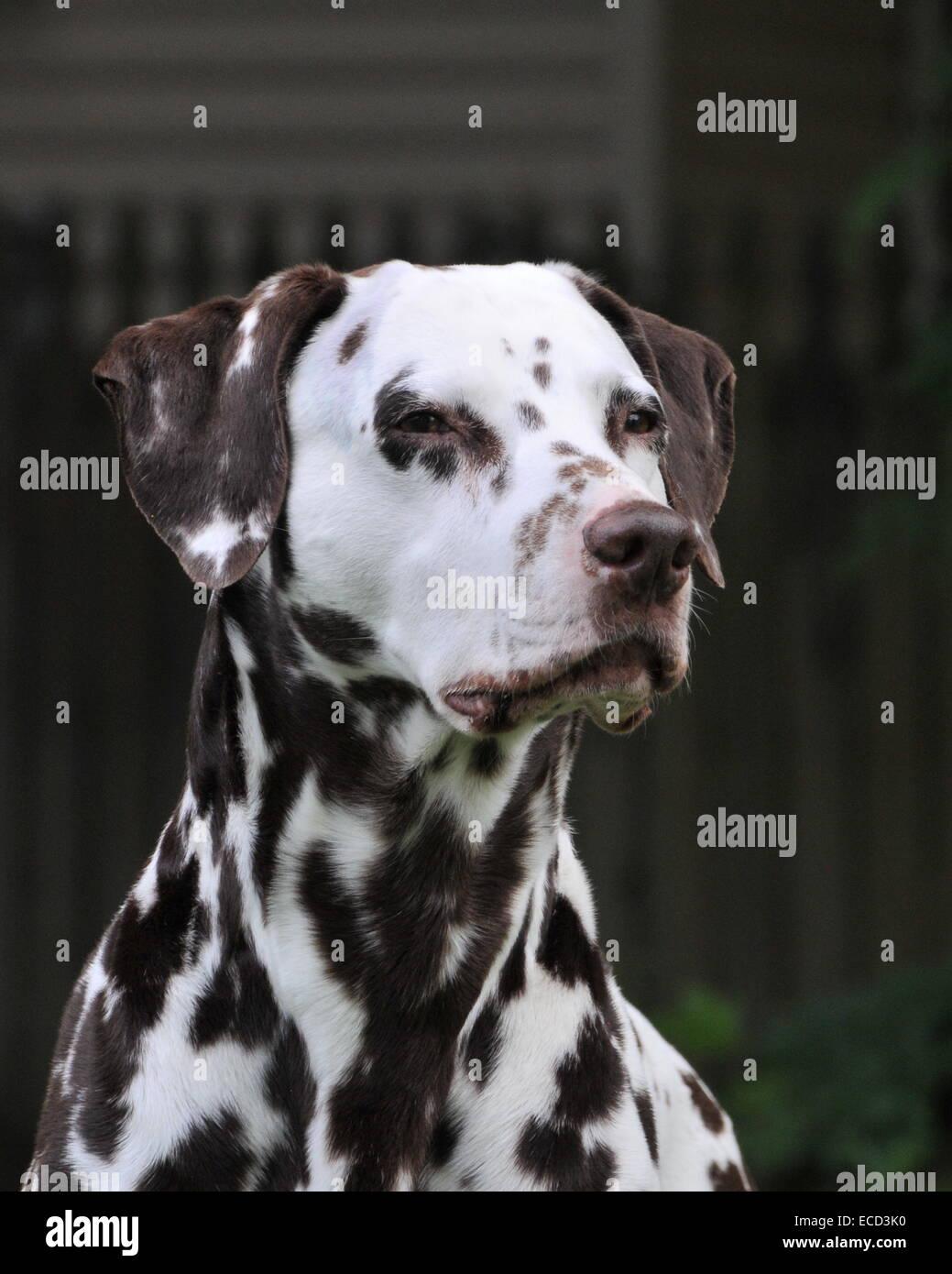 Liver & White spotted Dalmatian head portrait - Stock Image