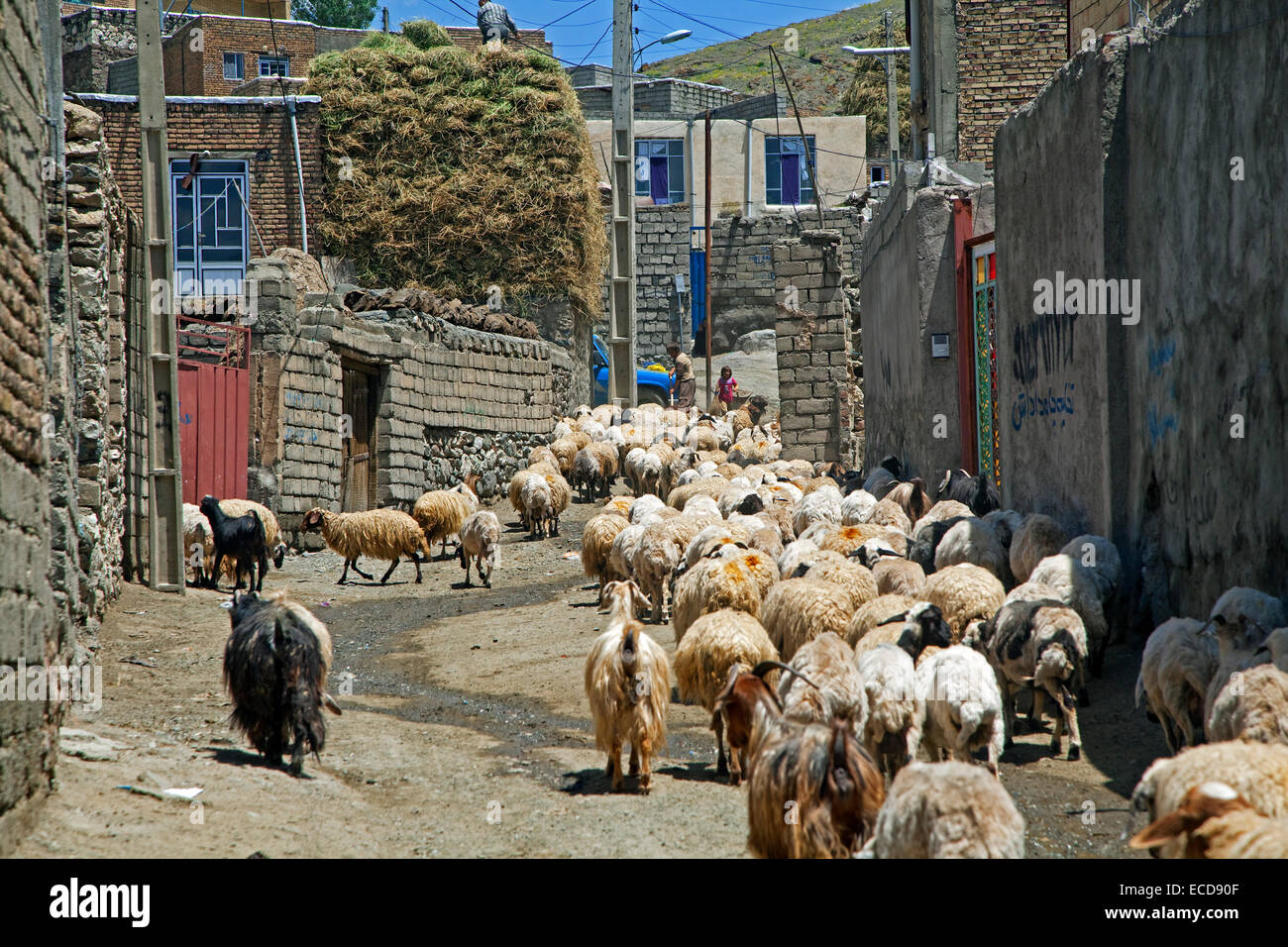 Flock of sheep in street of the dusty, small border town Qotur, West Azerbaijan, Iran - Stock Image