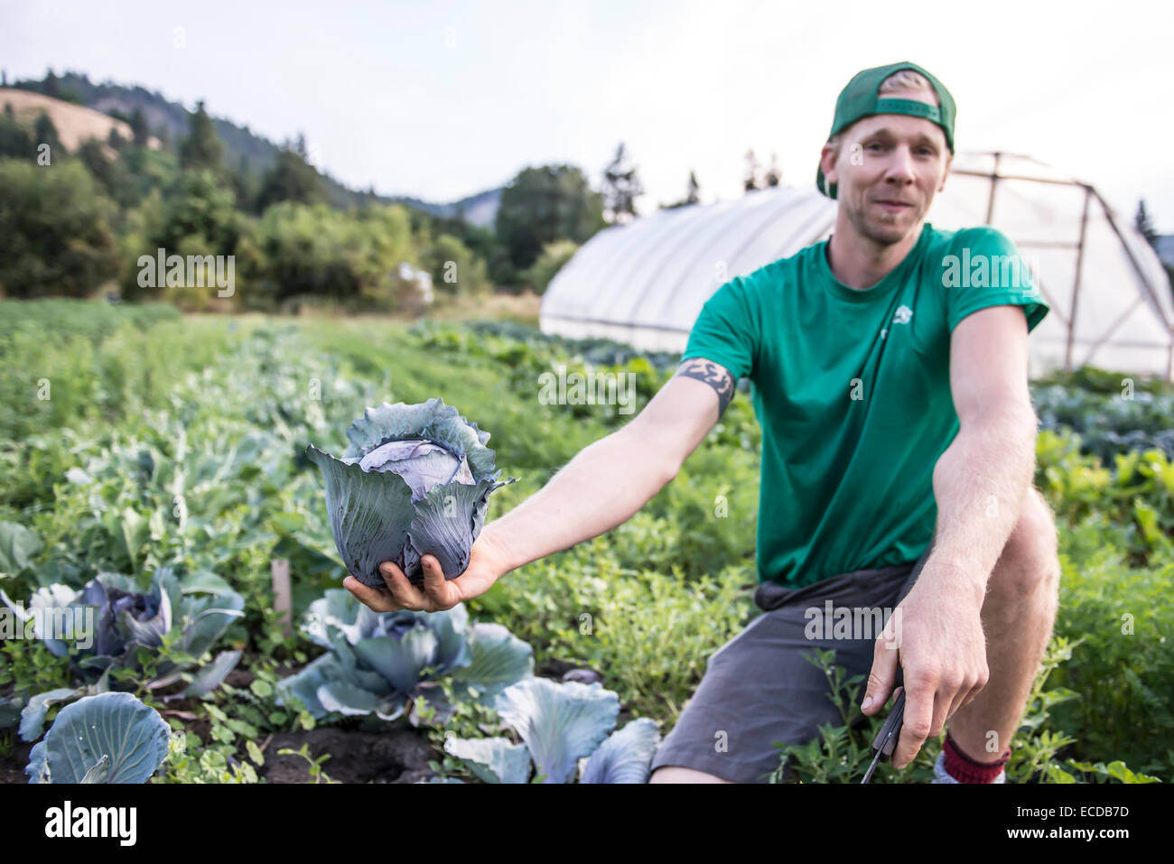 Havesting cabbage on an organic farm. - Stock Image