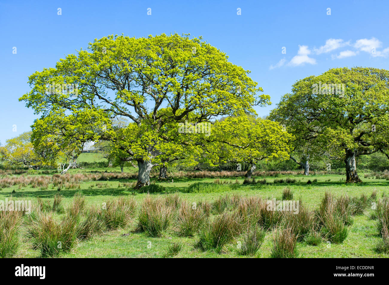 Oak Trees Growing on Damp Pasture on the Penrice Estate Gower Wales - Stock Image