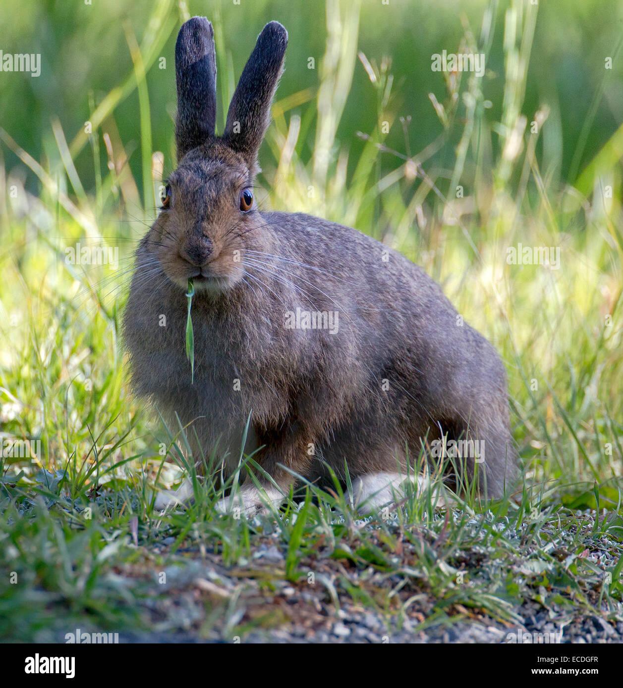 Snowshoe Hare, Hidden Valley, 8 20 2013 - Stock Image