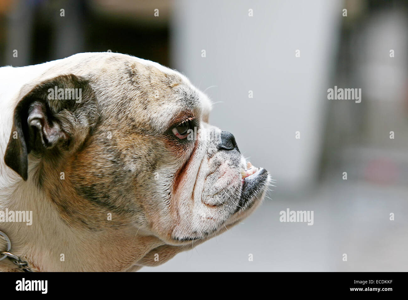 A close up of an old bulldog with visible canines. - Stock Image