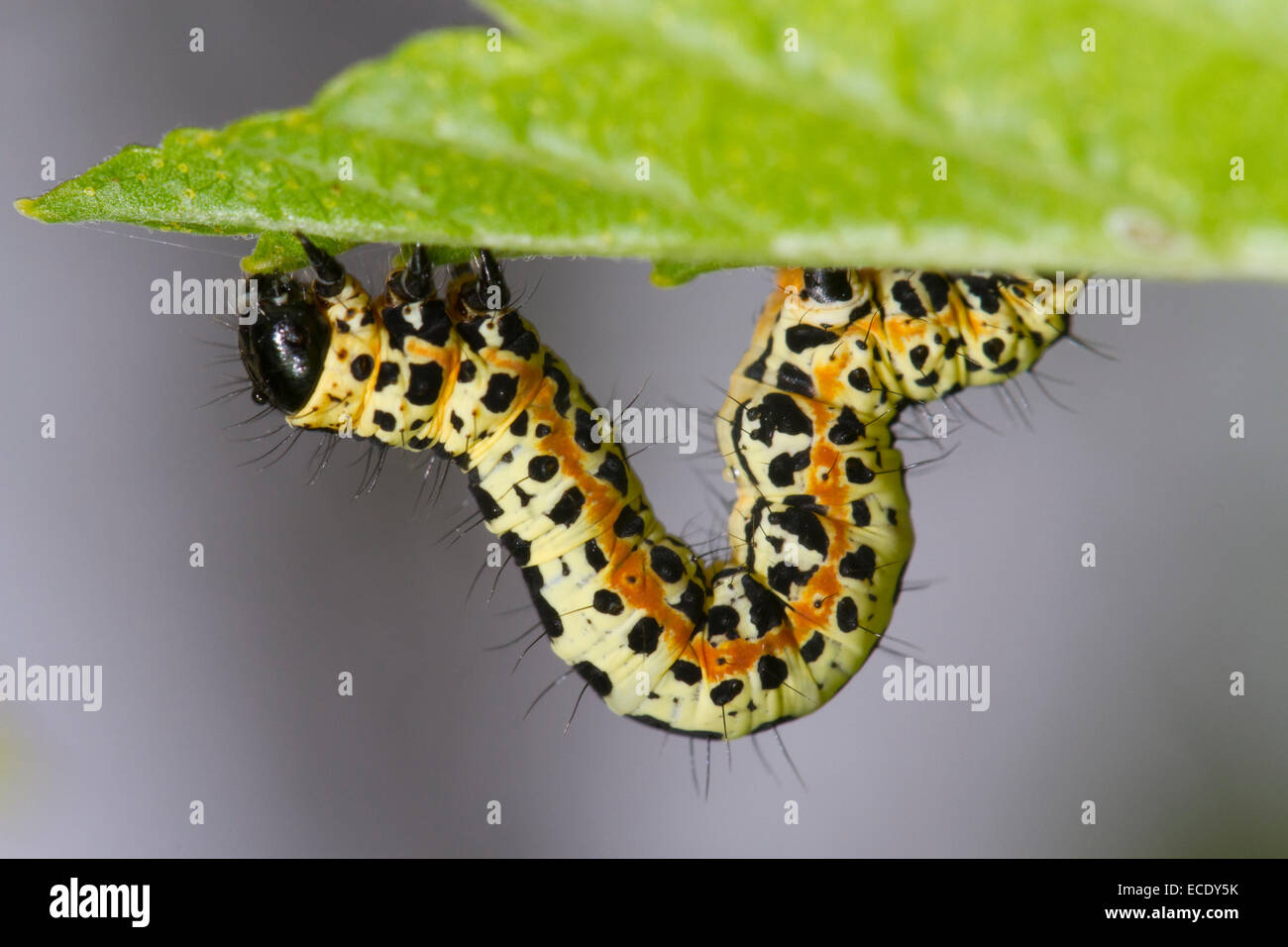 Magpie moth (Abraxas grossulariata) larva on a Blackcurrent leaf. Powys, Wales. May. - Stock Image