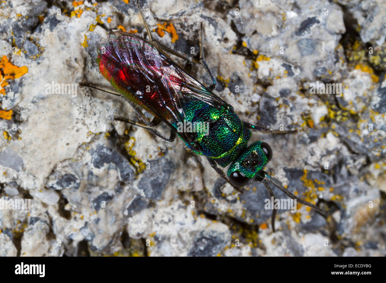 Ruby-tailed Wasp (Chrysis ignita) adult female on a wall. Powys, Wales. June. - Stock Image