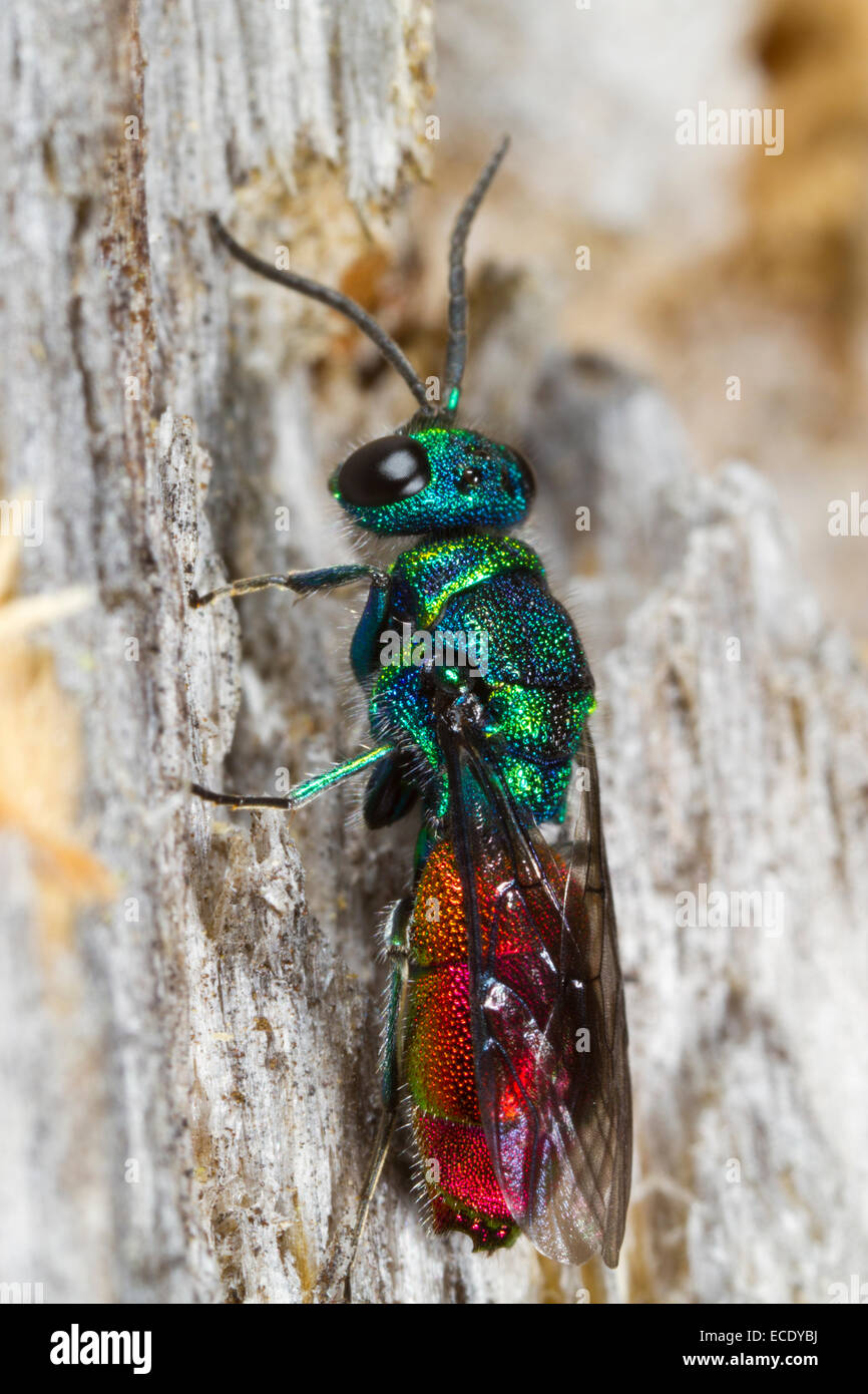 Ruby-tailed Wasp (Chrysis ignita) adult female resting on a fencepost. Powys, Wales. June. - Stock Image