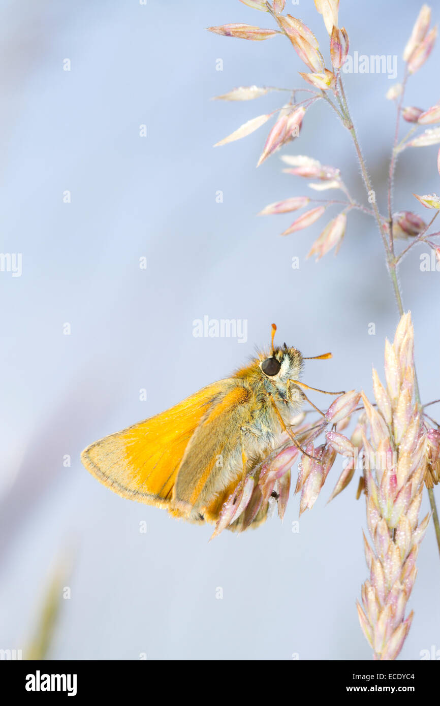 Small Skipper butterfly (Thymelicus sylvestris)resting amongst grasses . Powys, Wales. June. - Stock Image