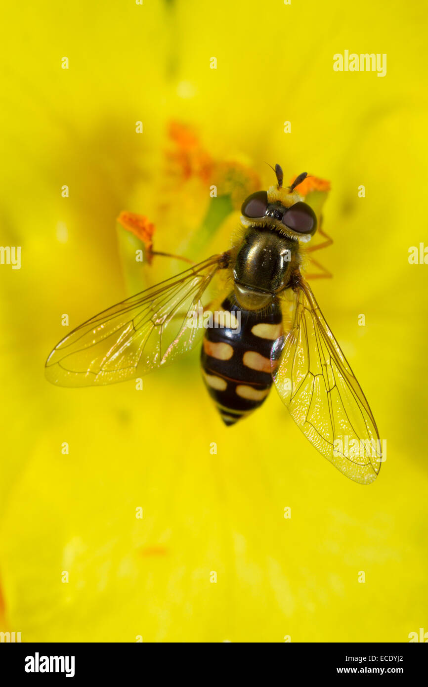 Migrant Hoverfly (Eupeodes corollae) adult female feeding in a Mullein (Verbascum sp.) flower. Seaford, Sussex, - Stock Image