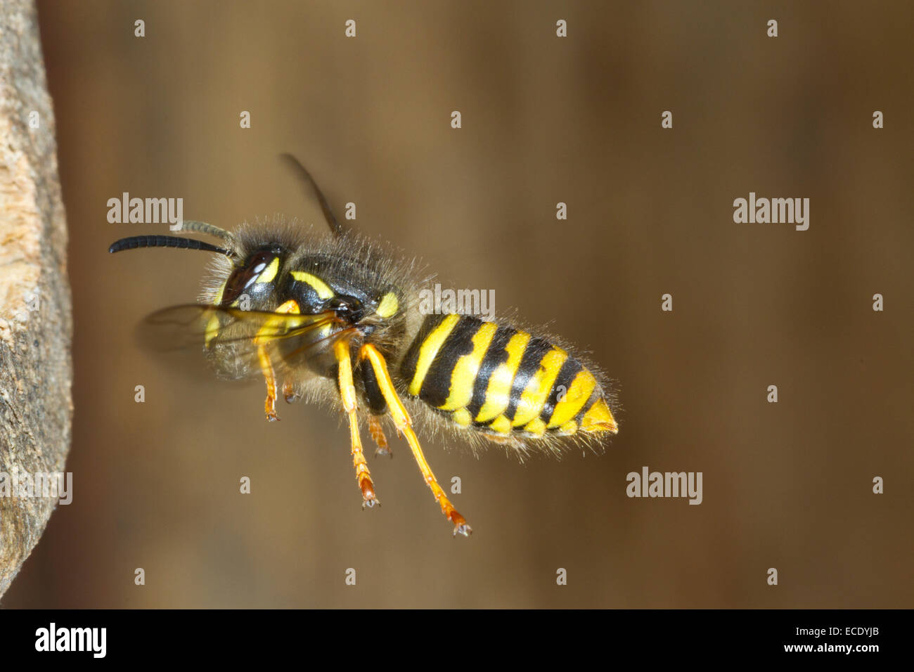Tree Wasp (Dolichovespula sylvestris) adult worker in flight, arriving at the nest entrance with wood pulp for nest - Stock Image
