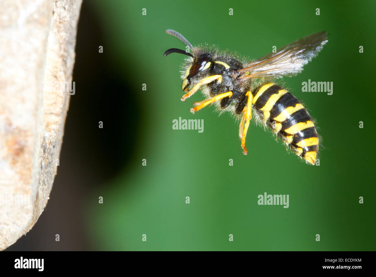Tree Wasp (Dolichovespula sylvestris) adult worker in flight at the nest entrance. Powys, Wales. July. - Stock Image
