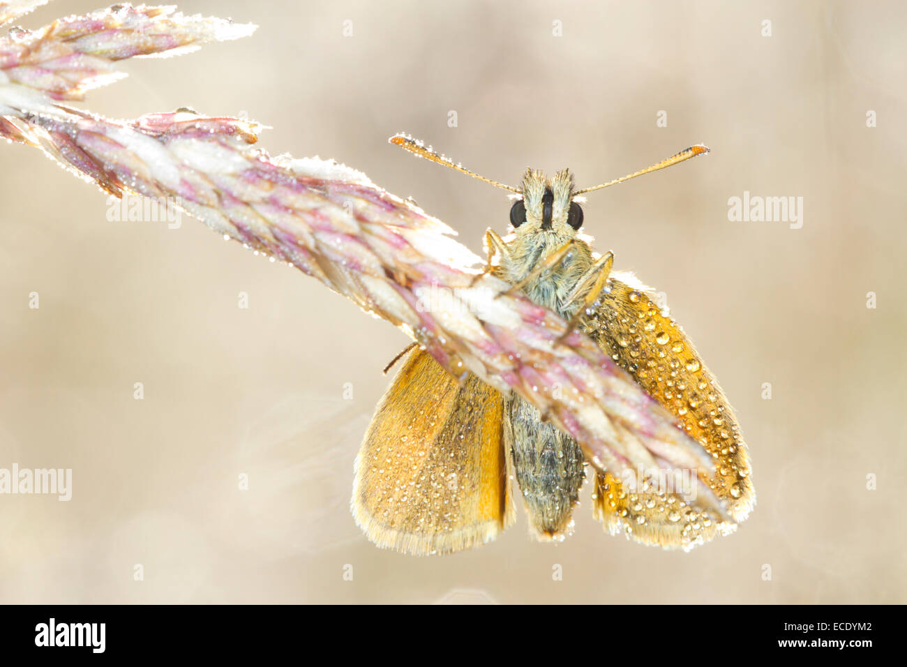 Small Skipper (Thymelicus sylvestris) adult butterfly roosting amongst grasses on a dewy morning. Powys, Wales. - Stock Image