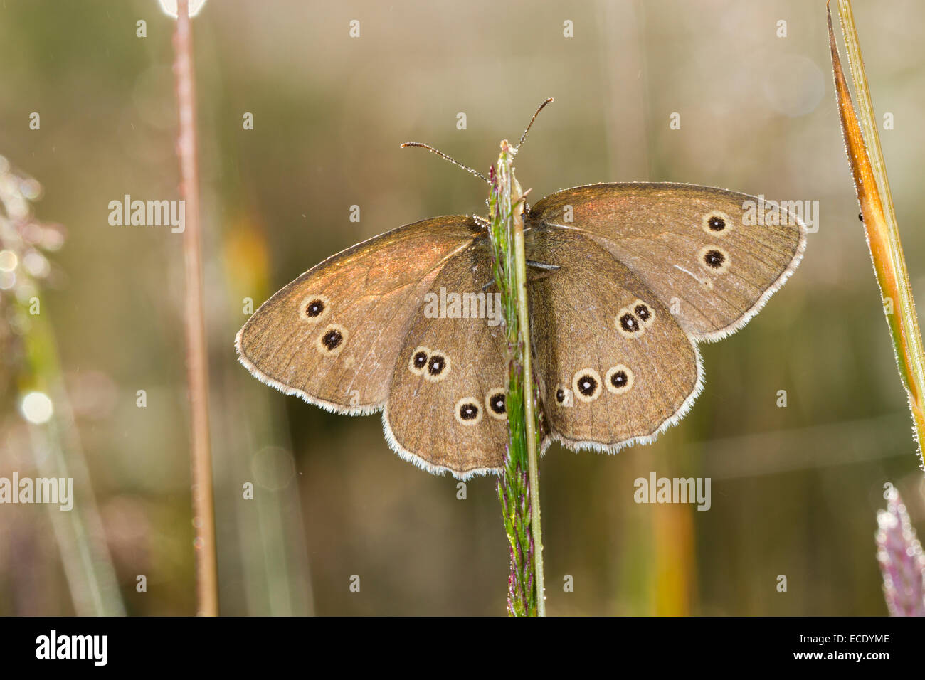 Ringlet Butterfly (Aphantopus hyperantus) adult  basking amongst grasses with wings open. Powys,Wales. July. - Stock Image