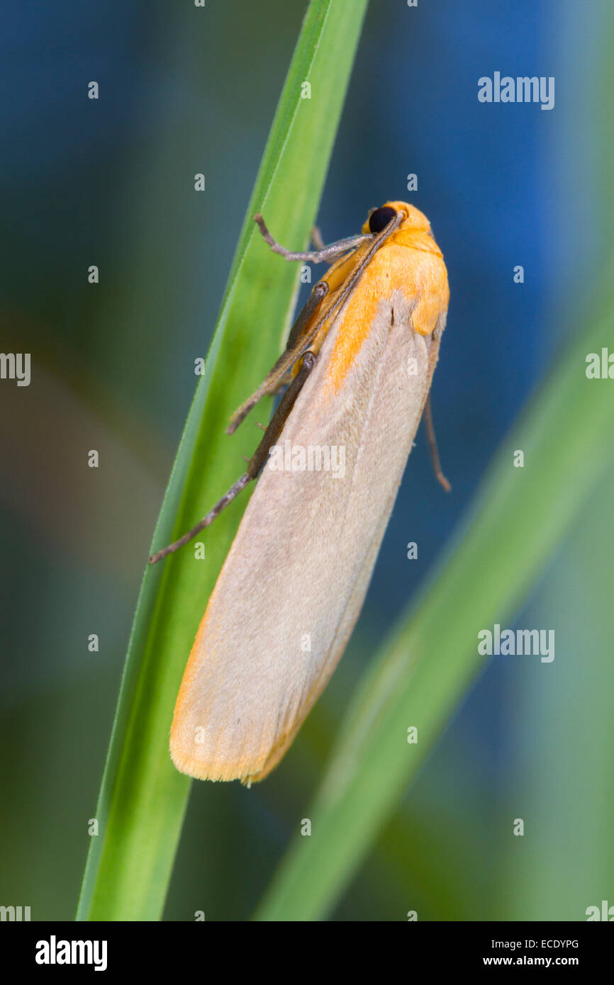 Buff Footman (Eilema depressa) adult moth resting amongst grasses. Powys, Wales. July. Stock Photo