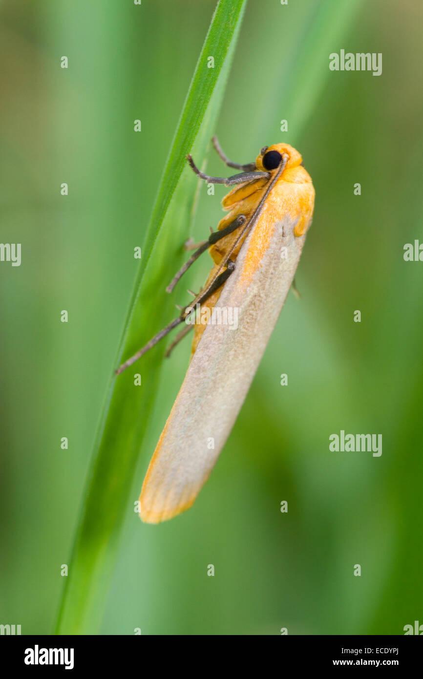 Buff Footman (Eilema depressa) adult moth resting amongst grasses. Powys, Wales. July. - Stock Image