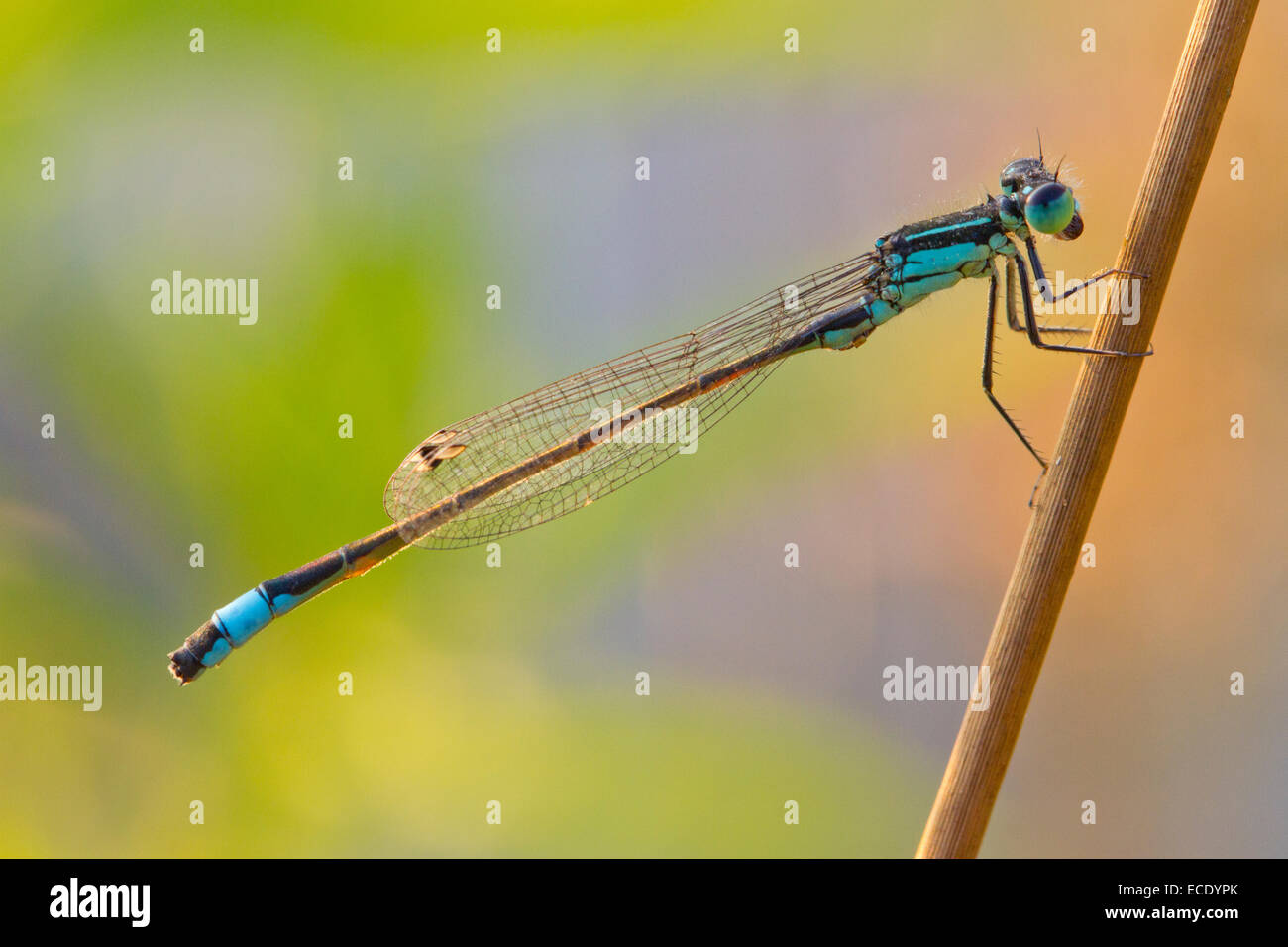 Blue-tailed Damselfly (Ischnura elegans) adult male resting on a rush stem. Powys, Wales. July. - Stock Image