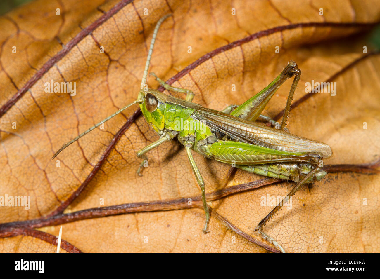Lesser Marsh Grasshopper (Chorthippus albomarginatus) adult male basking on a leaf. Shropshire, England. August. - Stock Image